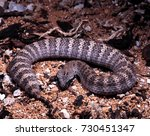 Small photo of Acanthophis antarcticus, Common death adder, a common Australian poisonous snake