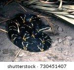 Small photo of Taylor's cantilus, Agkistrodon bilineatus taylori, colorful poisonous rattlesnake