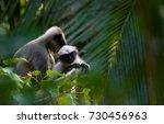 a juvenile gray languar looking ... | Shutterstock . vector #730456963