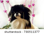 little dog  japanese chin on... | Shutterstock . vector #730511377
