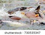 the iridescent shark feeding in ... | Shutterstock . vector #730535347