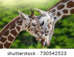Small photo of A wonderful moment in nature. Two giraffes (baby and mother) enjoy in love and beautiful moments. Great love between mother and her baby. Green trees in the background.