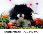 little dog  japanese chin on... | Shutterstock . vector #730549597