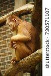Javan Langur Ape Close Up Phot...