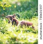 yawning lynx  lynx lynx  lying...   Shutterstock . vector #730631557