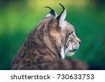 rear side view of eurasian lynx ...   Shutterstock . vector #730633753