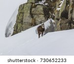 Small photo of Gran Paradiso National Park, Italy – March 2014: Alpine chamois (rupicapra rupicapra) wandering in the snow.