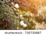 white flowers on briar rose... | Shutterstock . vector #730730887