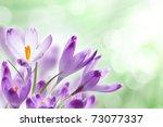 Crocus Flowers Against Bokeh...