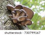 Oyster Mushroom  Pleurotus...