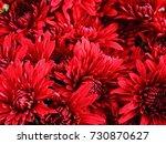 red chrysanthemum as a