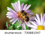 macro. a bee on a flower.... | Shutterstock . vector #730881547
