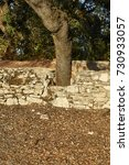 Small photo of Holm oak tree trunk growing on a stone wall