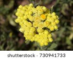 Yellow Flowers Of Helichrysum...