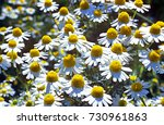 scented mayweed scented mayweed ... | Shutterstock . vector #730961863