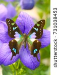 Small photo of Exotic green and purple spotted Swallowtail Butterfly (Graphium weiskei) on a blooming Ballonflower (Platycodon)