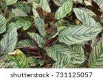 calathea majestica in the... | Shutterstock . vector #731125057