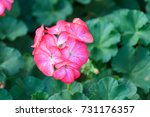 beautiful pink geranium in the... | Shutterstock . vector #731176357