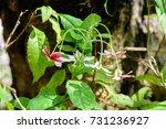 quisqualis indica   combretum... | Shutterstock . vector #731236927