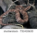Small photo of Mexican cantilus, Agkistrodon bilineatus, is a brightly colored rattlesnake snake