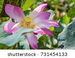 Large Colourful Lotus Are...