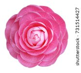 Camellia Rose Pink Flower Whit...