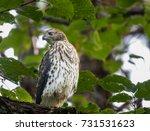 juvenile cooper's hawk surveys... | Shutterstock . vector #731531623