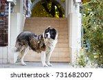 fluffy caucasian shepherd dog... | Shutterstock . vector #731682007