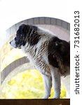 fluffy caucasian shepherd dog... | Shutterstock . vector #731682013