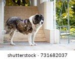 fluffy caucasian shepherd dog... | Shutterstock . vector #731682037
