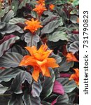tropical orange calathea... | Shutterstock . vector #731790823