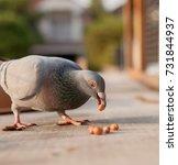Homing Pigeon Bird Eating Peanut