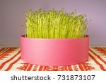 sprouted lentils  symbol of the ...   Shutterstock . vector #731873107