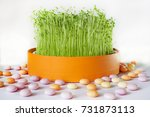 sprouted lentils  symbol of the ...   Shutterstock . vector #731873113