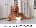golden retriever to lie on the... | Shutterstock . vector #732043207