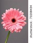 Flower Pink Gerbera On A Gray...