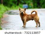 wet brown hair dog is standing... | Shutterstock . vector #732113857