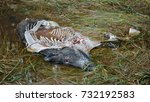 dead wild boar because of... | Shutterstock . vector #732192583