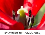 Light Pistil Of A Tulip