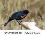 Male Red Wing Black Bird...