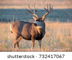 Mule deer buck standing in a...