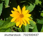 Jerusalem Artichoke  Sunroot ...