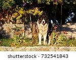fluffy caucasian shepherd dog... | Shutterstock . vector #732541843