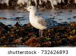 juvenile seagull eating a small ... | Shutterstock . vector #732626893