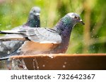 close up homing pigeon bird... | Shutterstock . vector #732642367