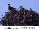 juvenile ospreys in their nest | Shutterstock . vector #732714103