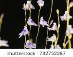 flower of the carnivorous plant ...   Shutterstock . vector #732752287