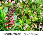 lupinus  lupin  wild lupine... | Shutterstock . vector #732771667