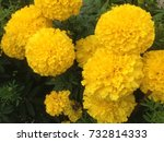 yellow marigolds are fully... | Shutterstock . vector #732814333