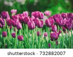 spring meadow with violet tulip ... | Shutterstock . vector #732882007